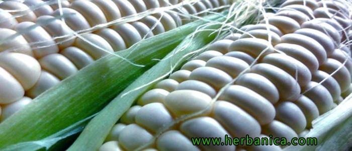 Conozca La Nutrición Y Usos Del Maíz Blanco Herbanica